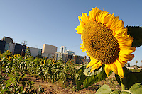 "Phoenix, Arizona - ""Valley of the Sunflowers,"" is a project that turned a two-acre city block in Phoenix into a sunflower field. High school science students will press the seeds to create biodiesel fuel for a hybrid solar-biofuel vehicle. Photo by Eduardo Barraza © 2011"