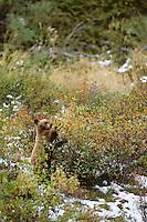 Black Bear (Ursus americanus) cub (cinnamon color phase) eating wild rose hips (berries).  Western U.S., fall.