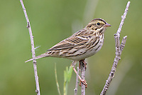 Savannah Sparrow perched on a branch