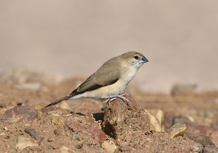 Indian Silverbill (or White-throated munia)- Euodice malabarica