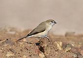 Indian Silverbill (or White-throated munia)- Euodice malabarica