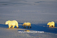 01874-01117 Polar Bears (Ursus maritimus) female with 2 cubs walking on frozen pond  Churchill  MB