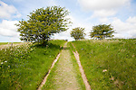 Grassy track climbing through small trees on chalk downland, All Cannings Down, near Milk Hill, Wiltshire, England