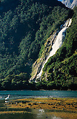A White Heron or Kotuku at Freshwater Basin with Bowen Fall in the distance, Milford Sound, Fiordland National Park, South Island, New Zealand.