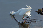 Snowy Egret Hunting Close Portrait Bolsa Chica Wildlife Refuge Southern California