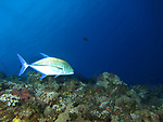 Orchid Island (蘭嶼), Taiwan -- Bluefin trevally at Jichang Waijiao (機場外礁)