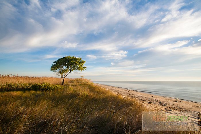 Cypress tree on the sand dunes, Delaware Bay, Delaware
