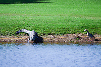 An aligator heads back to the water after a threesome of golfers plays through during round 2 of the Honda Classic, PGA National, Palm Beach Gardens, West Palm Beach, Florida, USA. 2/24/2017.<br /> Picture: Golffile | Ken Murray<br /> <br /> <br /> All photo usage must carry mandatory copyright credit (&copy; Golffile | Ken Murray)