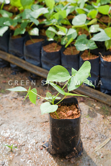 A young potted Mucuna bracteata, a leguminous cover plant which is grown in the on-site nursery. The plant is used as a cover crop next young oil palm trees while they are being established on the plantation to prevent soil erosion (protects water resources), stop weeds (reduces chemical spraying), and fix nitrogen (increases soil fertility). The Sindora Palm Oil Plantation, owned by Kulim, is green certified by the Roundtable on Sustainable Palm Oil (RSPO) for its environmental, economic, and socially sustainable practices. Johor Bahru, Malaysia