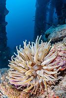 Giant anemone, Condylactis gigantea, with commensal shrimp, Thor amboinensis, and Yellowline arrow crabs, Stenorhynchus seticornis, Bonaire, Caribbean Netherlands, Caribbean