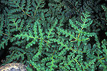 Goldback Fern (Pentagramma triangularis), Sierra Nevada Range, California, USA