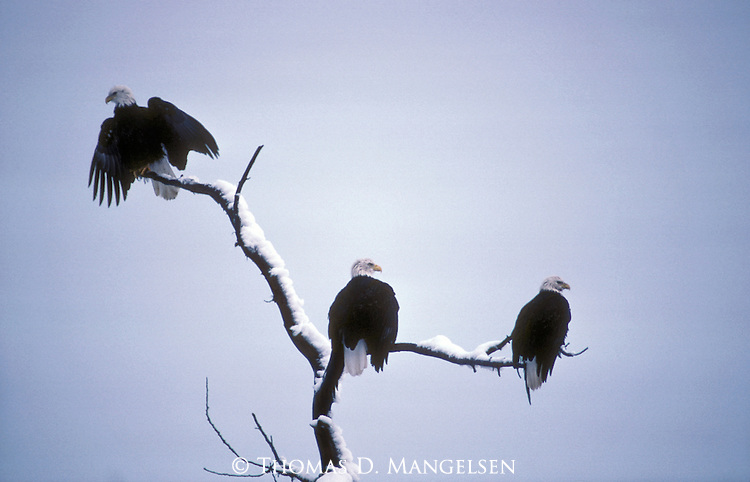 Three bald eagles perched in a tree in Haines, Alaska.