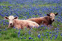 2 cows laying in a field of Blue bonnets near Temple Texas in Apri