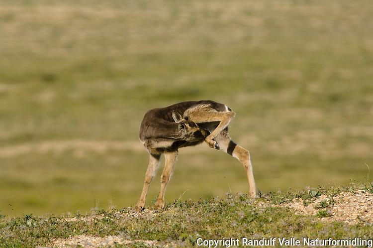 Villrein fra Blunose-flokken på tundraen i Canada. ---- Caribou from the Bluenose Herd on the Canadian tundra.