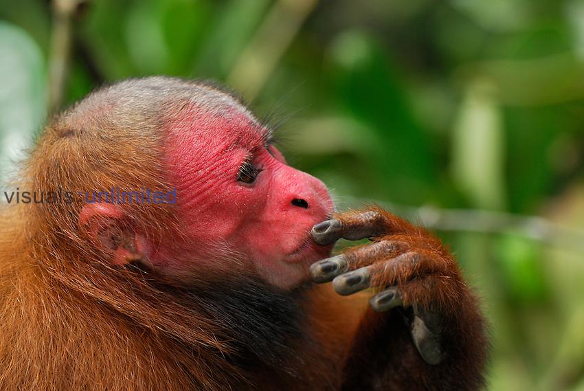 Red Uakari or Bald Uacari head and hand (Cacajao calvus rubicundus), Lago Preto, Peru