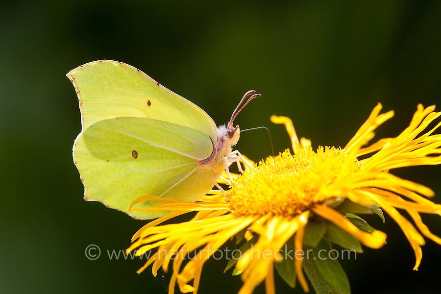 Zitronenfalter, Zitronen-Falter, Gonepteryx rhamni, Blütenbesuch und Bestäubung, saugt Nektar mit langem Saugrüssel, brimstone