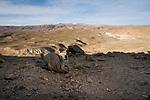 Southern Viscacha (Lagidium viscacia) in dry puna, Abra Granada, Andes, northwestern Argentina