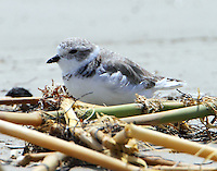 Piping plover in Sept