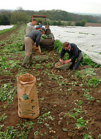 Picking early potatoes by hand, Cheshire.