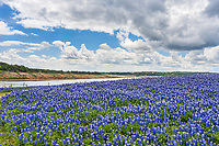Texas Bluebonnets landscape along the Colorado River outside of Austin, Texas. This  field of bluebonnet were incredible to capture on this nice spring day in the Texas Hill country.