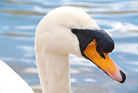 Swan bird animal swimming on lake pond water