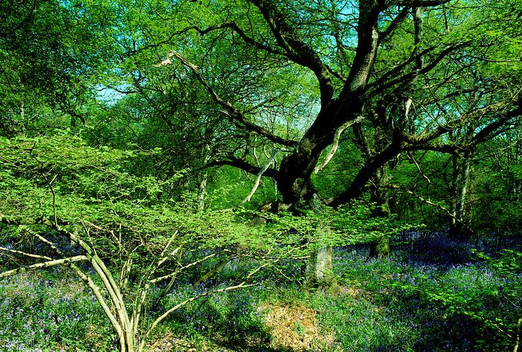 Deciduous Woodland in Spring