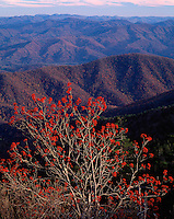 Red Berries on Mountain Ash, Great Smoky Mountains National Park, Tennessee/North Carolina  Sorbis aucuparia