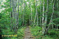 MT02-013b  Forest - path, white birch, Acadia National Park, Maine