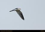 White-tailed Kite, Sepulveda Wildlife Refuge, Southern California