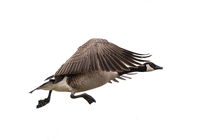 30000-00110 Canada Goose in flight (Branta canadensis) on white background,  Marion Co., IL