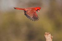 Northern Cardinal (Cardinalis cardinalis), male in flight, Sinton, Corpus Christi, Coastal Bend, Texas, USA