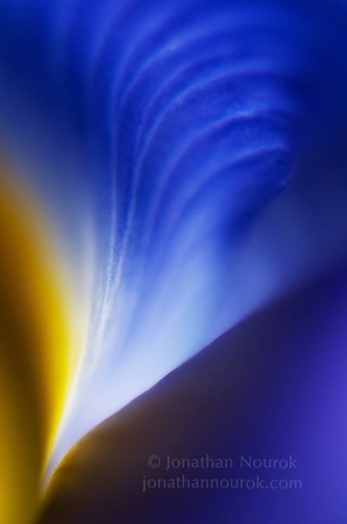 close-up of a blue iris