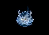 3 cm larval Pancake Batfish, Halieutichthys aculeatus, photographed during Blackwater drift dive in open ocean at 50 feet with the bottom 650 feet below, Palm Beach, Florida, USA, Atlantic Ocean