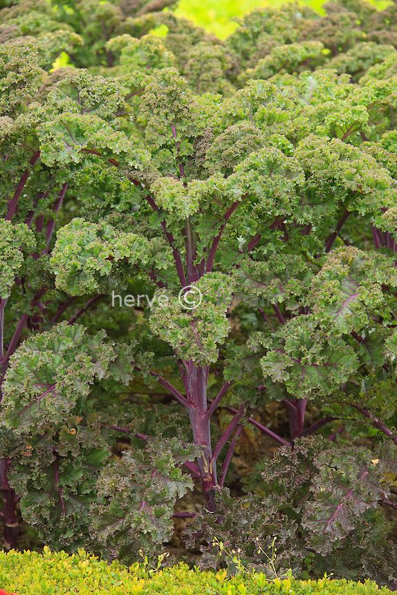 chou frisé pourpre (Brassica oleracea) //  Purple curly cabbage (Brassica oleracea).