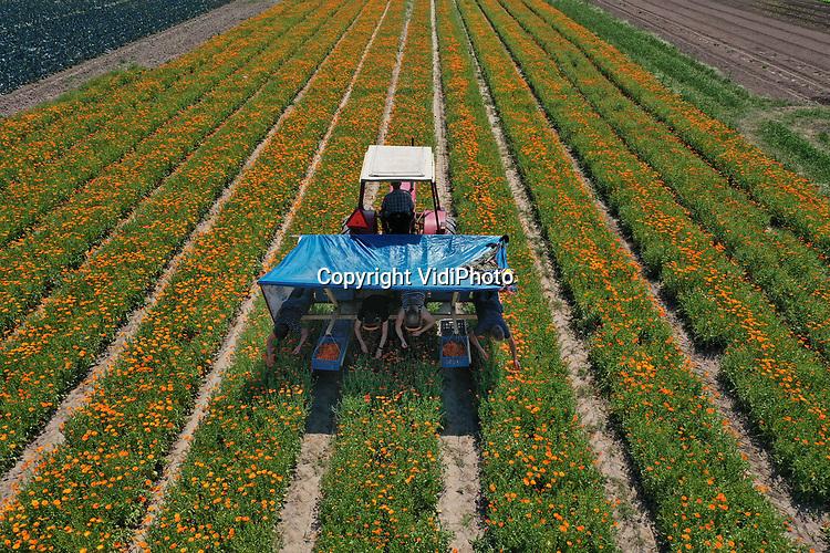 Foto: VidiPhoto<br /> <br /> HEMMEN – Op hun buik en in de schaduw van een dekzeil, 'zweven' enkele vakantiewerkers van ekoboerderij De Lingehof over een veld met goudsbloemen in het buurtschap Hemmen in de Betuwe. De bloemen (Calendula officinalis) worden liggend op een omgebouwd wiedbed geoogst, gedroogd op de boerderij en verkocht in onder andere natuurvoedingswinkels als thee. Initiatiefneemster Petra Derkzen is de enige in Nederland die goudsbloemen oogst voor consumptie. In Duitsland gebeurt dat op veel grotere schaal. Calendula is goed voor de spijsvertering en bovendien een plantaardig jodium. De stof wordt ook gebruikt in de cosmetica. Aan het eind van het oogstseizoen besluit Derkzen of het plukken van goudsbloemen economisch rendabel genoeg is om er mee door te gaan.