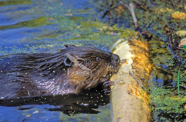 Beaver (Castor canadensis) gnaws bark off aspen branch in pond, autumn, North America.