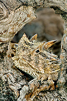 437850016 a wild texas horned lizard phrynosoma cornatum a threatened species sits on a dead mesquite branch in the rio grande valley of south texas