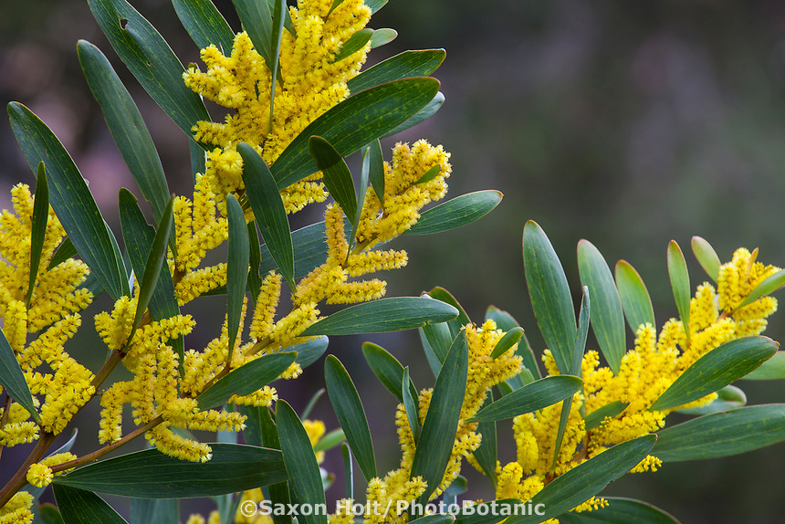 Acacia longifolia Golden Wattle shrub, yellow flowers