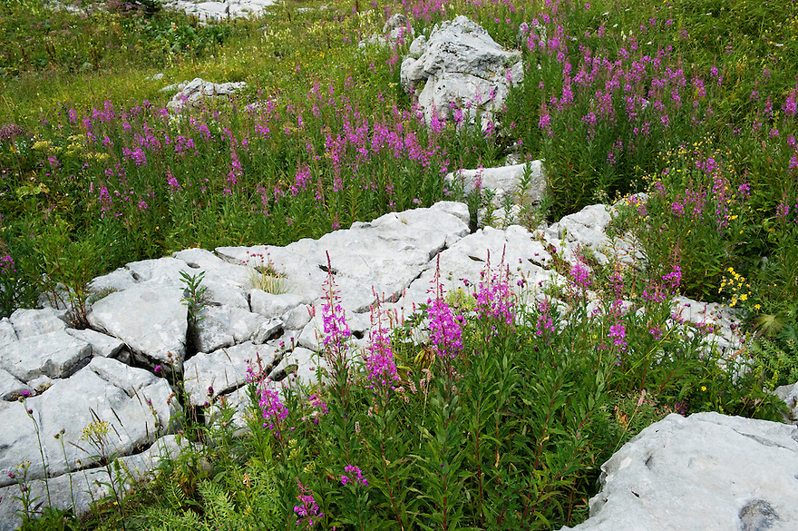 Fireweed (Epilobium angustifolium)<br /> Triglav National Park, Slovenia<br /> August 2009