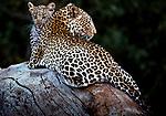 Leopard and cub, Masai Mara National Resrerve, Kenya
