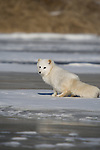 Arctic fox (Alopex lagopus) standing on the ice