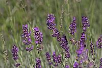 Echter Lavendel, Lavandula angustifolia, Lavender, Lavande vraie