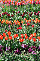 Display of Tulips