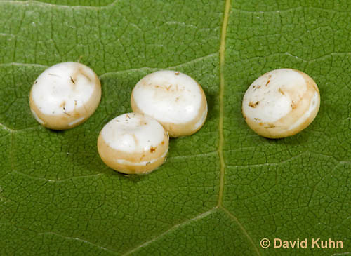 0912-0805  Oculea Silkmoth Eggs, Antheraea oculea © David Kuhn/Dwight Kuhn Photography.