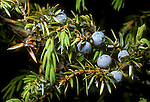 Common juniper berries Juniperus communis<br />