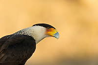 Caracara searching for food.