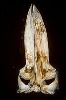 Blue Whale Skull, Skull, Balaenoptera musculus,