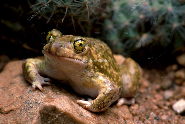 Couch's Spadefoot, Scaphiopus couchii