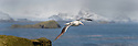 Wandering albatross (or snowy albatross, white-winged albatross or goonie) (Diomedea exulans) in flight over the Bay of Isles, South Georgia, South Atlantic. (composite image).