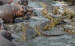 Hippopotamus (Hippopotamus amphibius) and Nile crocodiles (Crocodylus niloticus), Katavi National Park, Tanzania